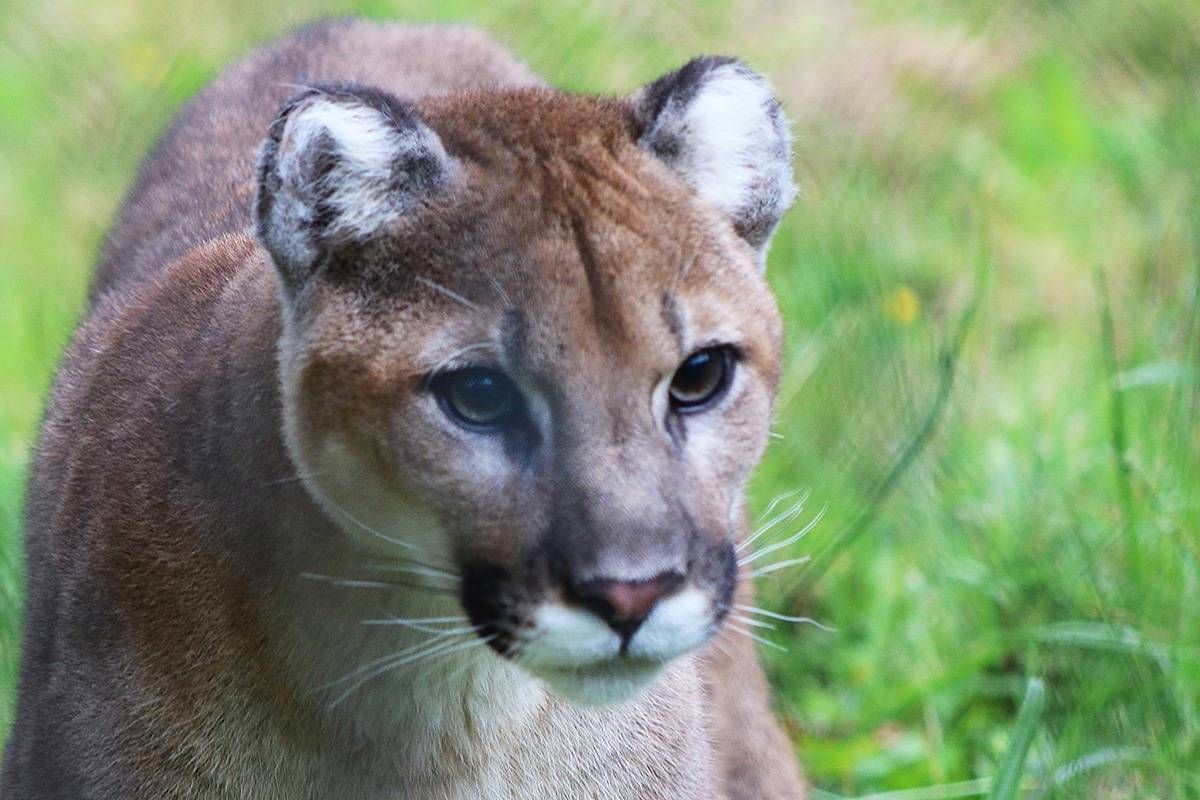 busy year for cougars in maple ridge maple ridge news