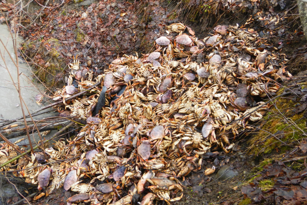 Maple Ridge Dump >> Another Illegal Dump Of 200 Dungeness Crab Discovered In