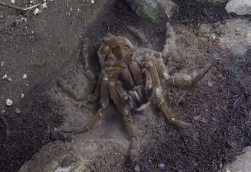 Tarantula The Size Of A Dinner Plate Caught Moulting At Bc