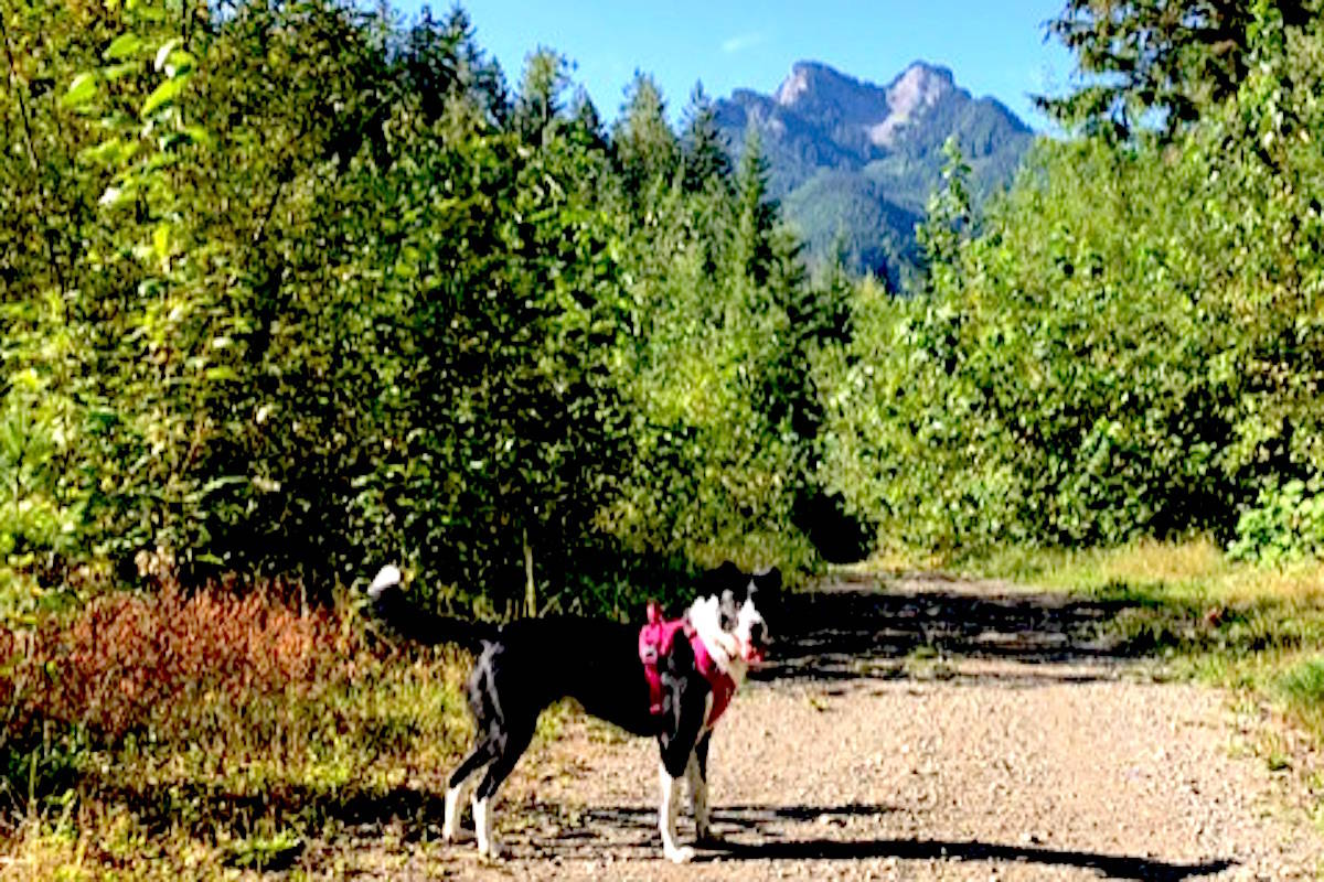 Dog poisoned on Chilliwack trail by feces tainted with cannabis