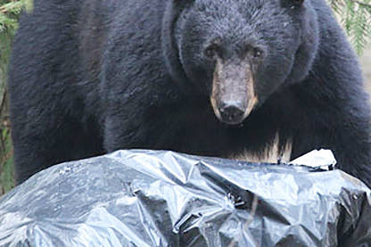 Conservation searching for shot bear in Maple Ridge