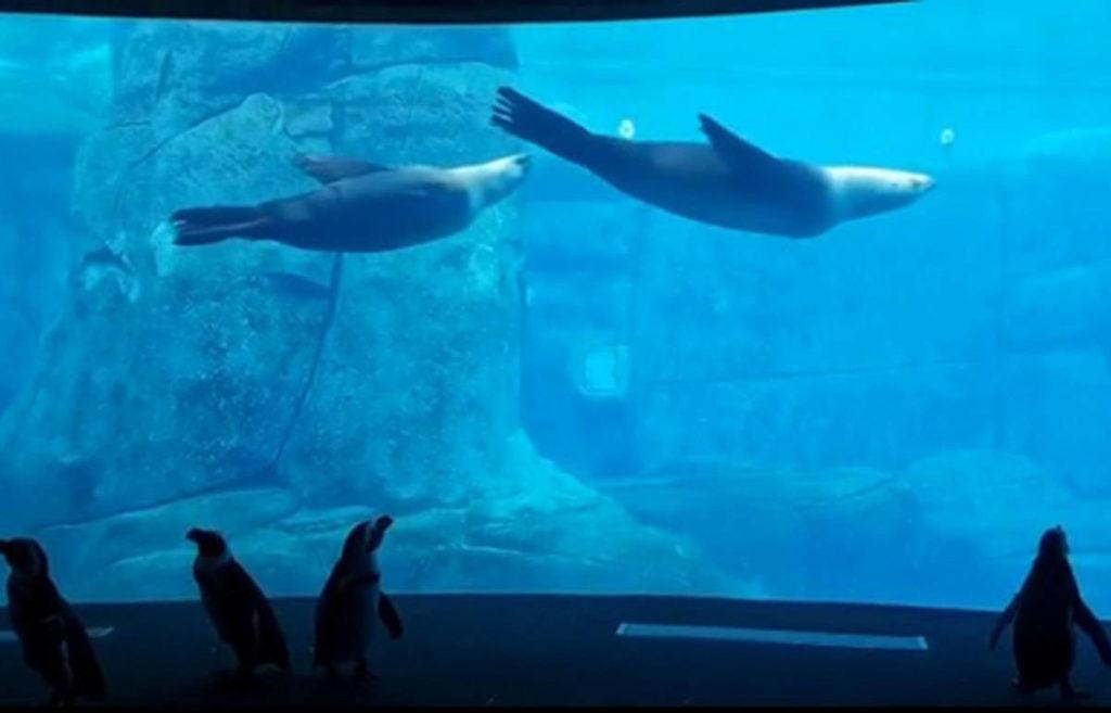 VIDEO: Penguins roam empty halls of Vancouver Aquarium - Maple Ridge News