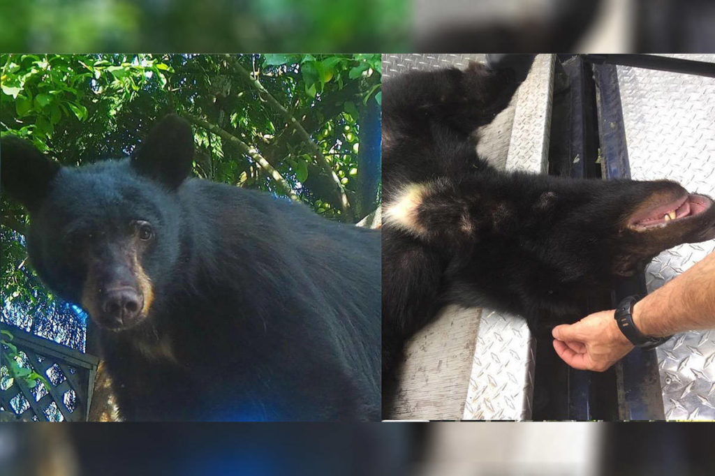 'Huckleberry' the bear killed after B.C. residents admit to leaving garbage out for videos - Maple Ridge News