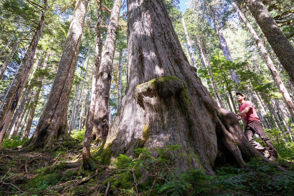 Protesters showcase massive old yellow cedar as Port Renfrew area forest blockade continues - Maple Ridge News