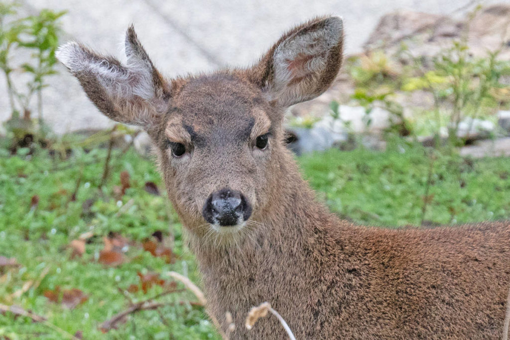 A deer with 3 ears? Unique animal routinely visits B.C. property - Maple Ridge News
