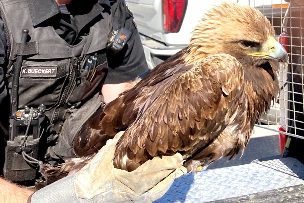 'Obviously, he's a fighter': Golden eagle, recovered from poisoning, back in Kootenay wild - Maple Ridge News