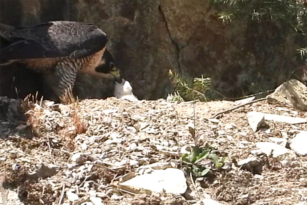 Wildlife permit suspended 2nd time for Abbotsford quarry with peregrine falcons - Maple Ridge News