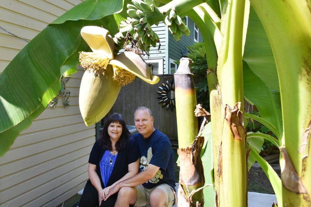 Banana tree bears fruit in Maple Ridge backyard - Maple Ridge News