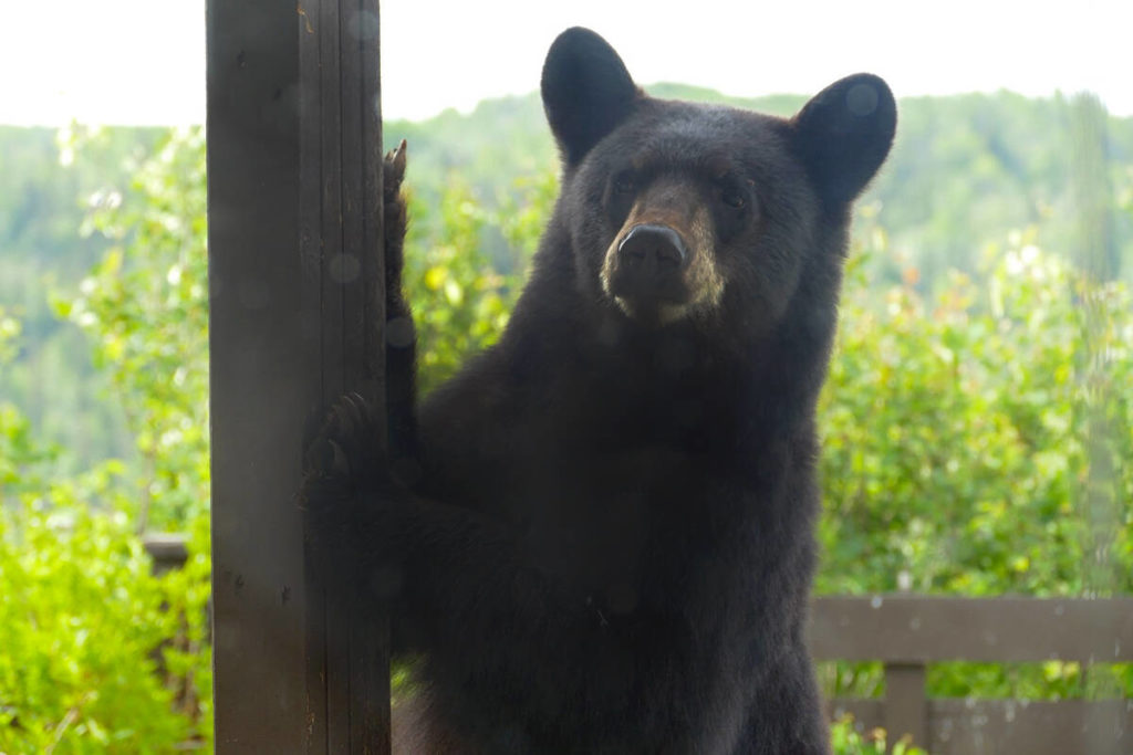 Bears to get active in the next two weeks, says Maple Ridge WildSafe BC coordinator - Maple Ridge News