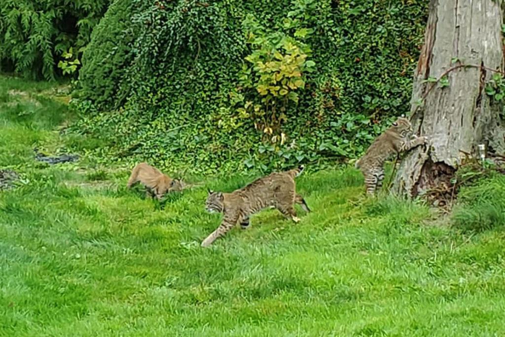 Bobcats photographed in Maple Ridge backyard - Maple Ridge News